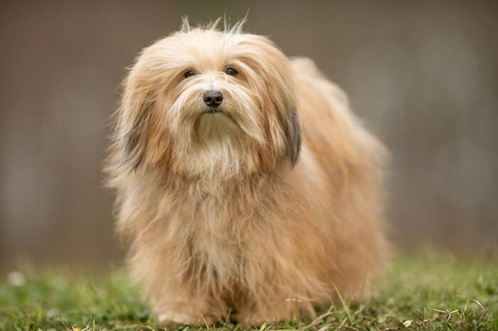 Havanese Dogs & Shedding (Complete Guide)