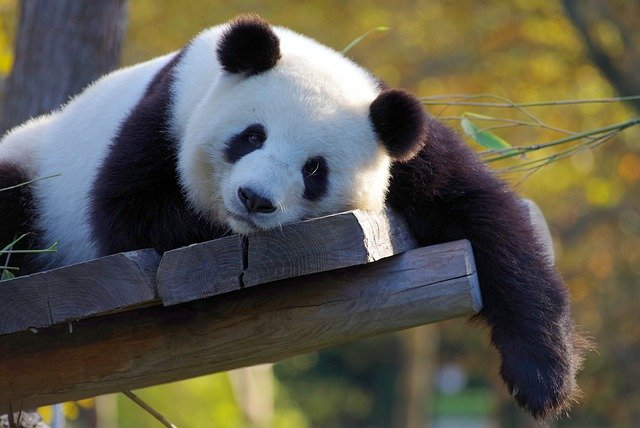 Panda as Pet Animal? Can I keep Panda at home
