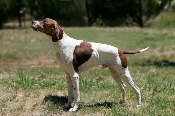 Pointer Dogs and their Shedding – (Complete Dog Guide)